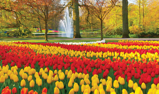 Holland Tulpen