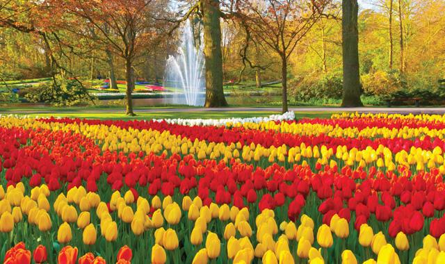 Holland Tulpen