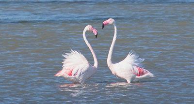 Flamingos der Camargue
