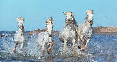 Camargue-Pferde
