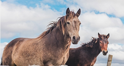 Irische Pferde