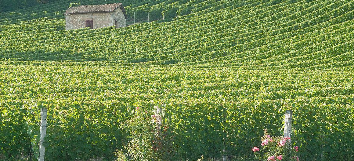Weinberge in Migennes, Burgund