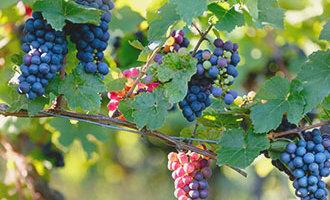 Trauben auf dem Wein