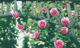 Wunderschöne, an Gittern ragende Rosen